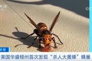 """恒行2娱乐app:""""杀人大黄蜂""""蜂巢!这里首次发现了!"""
